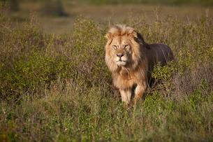 Lion (Panthera leo), Ngorongoro Conservation Area, Serengeti, Tanzaniaの写真素材 [FYI03776611]
