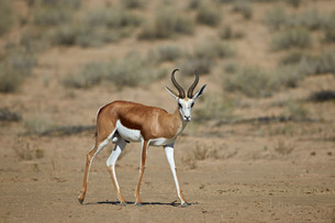 Springbok (Antidorcas marsupialis) buck, Kgalagadi Transfrontier Park encompassing the former Kalahaの写真素材 [FYI03776613]