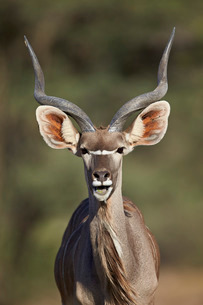 Greater kudu (Tragelaphus strepsiceros) buck with his mouth open, Kgalagadi Transfrontier Park encomの写真素材 [FYI03776615]