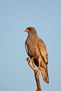 Southernpale chanting goshawk (Melierax canorus), Kgalagadi Transfrontier Park encompassing the formの写真素材 [FYI03776617]