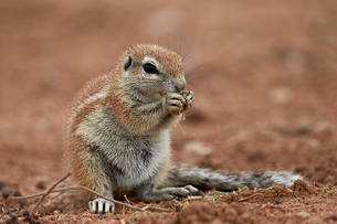 Young Cape ground squirrel (Xerus inauris) eating, Kgalagadi Transfrontier Park encompassing the forの写真素材 [FYI03776626]