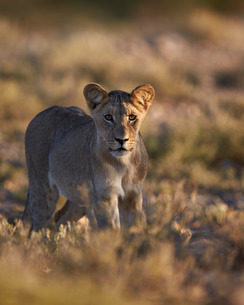 Lion (Panthera leo), immature, Kgalagadi Transfrontier Park encompassing the former Kalahari Gemsbokの写真素材 [FYI03776631]