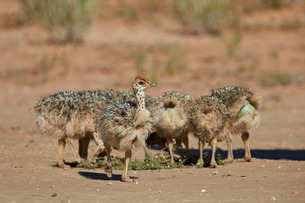 Common ostrich (Struthio camelus) chicks, Kgalagadi Transfrontier Park encompassing the former Kalahの写真素材 [FYI03776636]