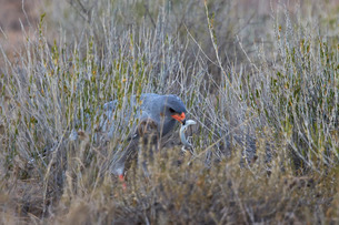 Southern pale chanting goshawk (Melierax canorus) with a skink, Kgalagadi Transfrontier Park encompaの写真素材 [FYI03776645]