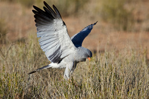 Southern pale chanting goshawk (Melierax canorus) hunting, Kgalagadi Transfrontier Park encompassingの写真素材 [FYI03776646]