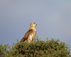 Black-breasted snake eagle (black-chested snake eagle) (Circaetus pectoralis), immature, Kgalagadi Tの写真素材 [FYI03776647]