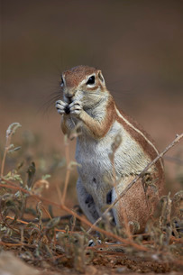 Cape ground squirrel (Xerus inauris) eating, Kgalagadi Transfrontier Park, encompassing the former Kの写真素材 [FYI03776650]