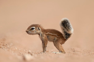 Baby Cape ground squirrel (Xerus inauris), Kgalagadi Transfrontier Park, encompassing the former Kalの写真素材 [FYI03776660]
