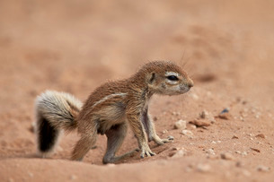 Baby Cape ground squirrel (Xerus inauris), Kgalagadi Transfrontier Park, encompassing the former Kalの写真素材 [FYI03776661]