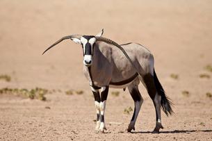 Gemsbok (South African oryx) (Oryx gazella) male with deformed horns, Kgalagadi Transfrontier Park,の写真素材 [FYI03776663]