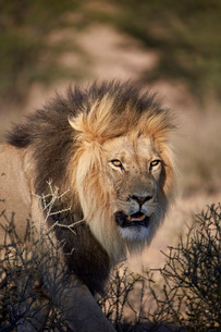 Lion (Panthera leo), Kgalagadi Transfrontier Park, encompassing the former Kalahari Gemsbok Nationalの写真素材 [FYI03776666]