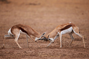 Two springbok (Antidorcas marsupialis) bucks fighting, Kgalagadi Transfrontier Park, encompassing thの写真素材 [FYI03776672]