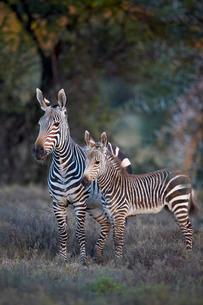 Cape mountain zebra (Equus zebra zebra) mare and foal, Mountain Zebra National Parkの写真素材 [FYI03776680]