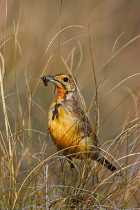Orange-throated longclaw (Cape longclaw) (Macronyx capensis) with an insect, Mountain Zebra Nationalの写真素材 [FYI03776687]