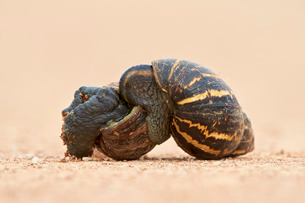 Two East African land snail (Giant African land snail) (Achatina fulica) mating, Addo Elephant Natioの写真素材 [FYI03776698]
