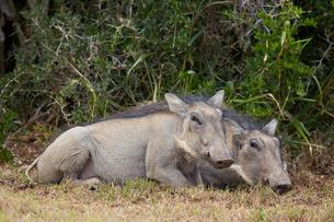 Warthog (Phacochoerus aethiopicus) piglets, Addo Elephant National Parkの写真素材 [FYI03776700]