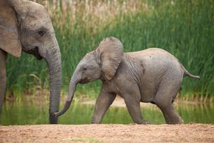 Young African elephant (Loxodonta africana), Addo Elephant National Parkの写真素材 [FYI03776704]