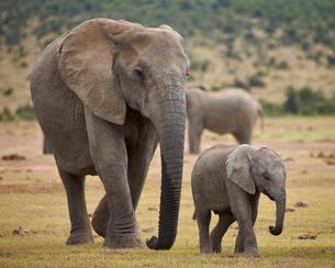 African elephant (Loxodonta africana) adult and baby, Addo Elephant National Parkの写真素材 [FYI03776707]