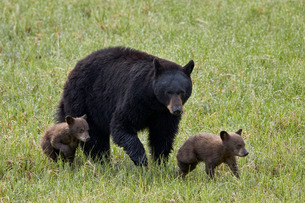 Black bear (Ursus americanus) sow and two chocolate cubs of the year or spring cubs, Yellowstone Natの写真素材 [FYI03776717]