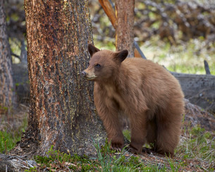 Cinnamon black bear (Ursus americanus) yearling cub, Yellowstone National Parkの写真素材 [FYI03776719]