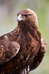 Golden eagle (Aquila chrysaetos), Yellowstone National Parkの写真素材 [FYI03776720]