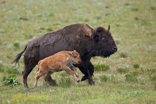 Bison (Bison bison) cow and calf running in the rain, Yellowstone National Parkの写真素材 [FYI03776725]
