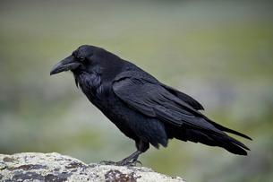 Common raven (Corvus corax), Yellowstone National Parkの写真素材 [FYI03776729]