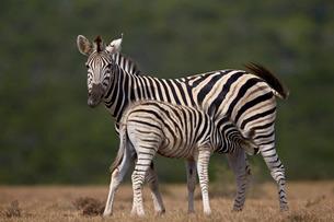 Common zebra (plains zebra) (Burchell's zebra) (Equus burchelli) mare nursing her foal, Addo Elephanの写真素材 [FYI03776730]