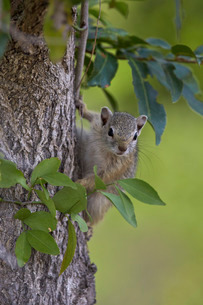 Tree squirrel (Smith's bush squirrel) (yellow-footed squirrel) (Paraxerus cepapi), Kruger National Pの写真素材 [FYI03776770]