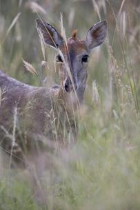 Common duiker (grey duiker) (bush duiker) (Sylvicapra grimmia), female, Kruger National Parkの写真素材 [FYI03776789]
