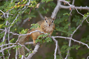 Tree squirrel (Smith's bush squirrel) (yellow-footed squirrel) (Paraxerus cepapi), Kruger National Pの写真素材 [FYI03776814]