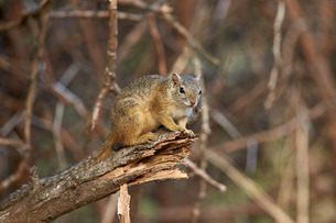 Tree squirrel (Smith's bush squirrel) (yellow-footed squirrel) (Paraxerus cepapi), Kruger National Pの写真素材 [FYI03776821]
