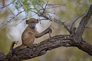 Chacma baboon (Papio ursinus) juvenile in a tree, Kruger National Parkの写真素材 [FYI03776847]