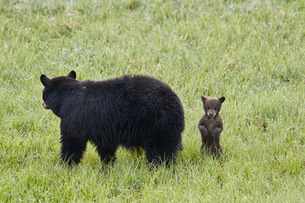 Black Bear (Ursus americanus) sow and a chocolate cub of the year or spring cub, Yellowstone Nationaの写真素材 [FYI03776854]