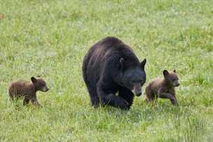Black Bear (Ursus americanus) sow and two chocolate cubs of the year or spring cubs, Yellowstone Natの写真素材 [FYI03776855]