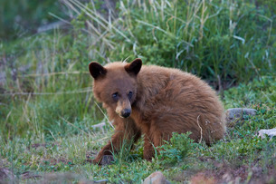 Black Bear (Ursus americanus), cinnamon yearling cub, Yellowstone National Parkの写真素材 [FYI03776859]