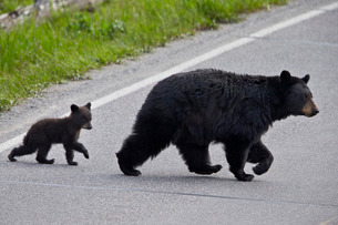 Black Bear (Ursus americanus) sow and cub-of-the-year crossing the road, Yellowstone National Parkの写真素材 [FYI03776865]