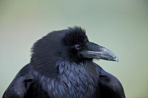 Common Raven (Corvus corax), Yellowstone National Parkの写真素材 [FYI03776866]