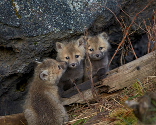 Red Fox (Vulpes vulpes or Vulpes fulva) kits, Yellowstone National Parkの写真素材 [FYI03776867]