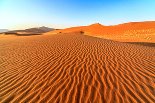 Dried plants among the sand dunes shaped by wind, Deadvlei, Sossusvlei, Namib Desert, Namib Naukluftの写真素材 [FYI03777189]
