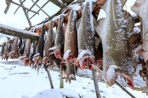 Drying codfish, a typical Norwegian product, Svensby, Lyngen Alps, Troms, Lapland, Norway, Scandinavの写真素材 [FYI03777265]