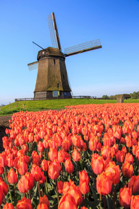 Red and orange tulip fields and the blue sky frame the windmill in spring, Berkmeer, Koggenland, Norの写真素材 [FYI03777290]