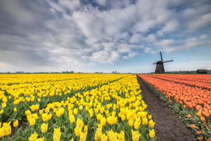 Multi-coloured fields of tulips at spring with windmill in the background, Schermerhorn, Alkmaar, Noの写真素材 [FYI03777295]