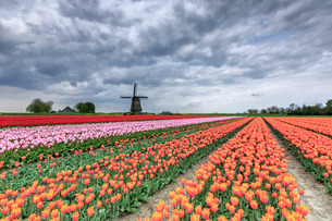 Dark clouds over fields of multicolored tulips and windmill, Berkmeer, Koggenland, North Holland, Neの写真素材 [FYI03777299]