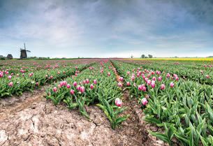 Panoramic view of multi-coloured fields of tulips and windmills, Berkmeer, Koggenland, North Hollandの写真素材 [FYI03777300]