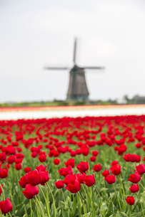 Red tulip fields frame the windmill in spring, Berkmeer, Koggenland, North Holland, Netherlandsの写真素材 [FYI03777301]