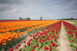 Spring clouds over fields of multicolored tulips and windmill, Berkmeer, Koggenland, North Holland,の写真素材 [FYI03777302]