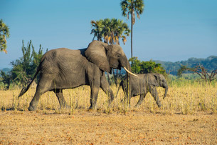 African bush elephant (Loxodonta africana) mother with calf, Liwonde National Park, Malawiの写真素材 [FYI03777351]