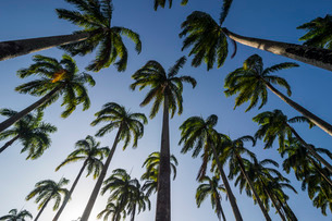 Palm grove in the heart of Cayenne, French Guianaの写真素材 [FYI03777356]