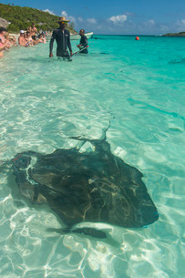 Guides feeding Rays in the turquoise waters of the Exumas, Bahamas, Caribbeanの写真素材 [FYI03777370]
